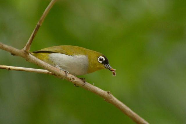 Gambar Burung Kecil Bersuara Merdu - Pleci