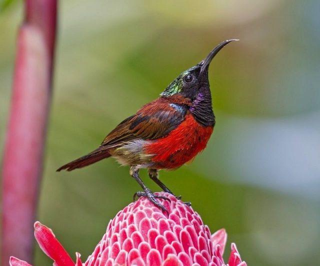 Gambar Burung Kecil Bersuara Merdu - burung kolibri ninja