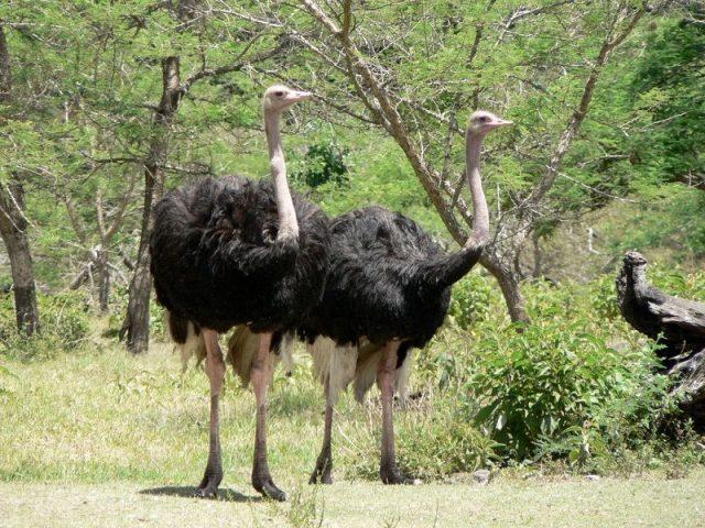 Gambar Burung Terbesar Di Dunia Somali ostrich (Struthio molybdophanes)