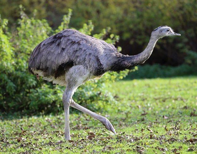 Gambar Burung Terbesar Di Dunia greater rhea (Rhea americana)