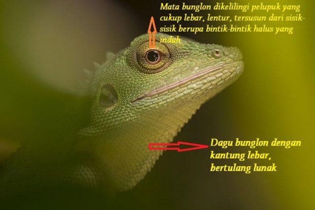 Gambar Ciri Ciri Bunglon Bagian Kepala