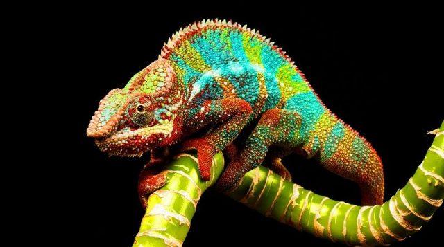 Gambar Ciri Ciri Bunglon Itu Beda Dengan Ciri Ciri Chameleon