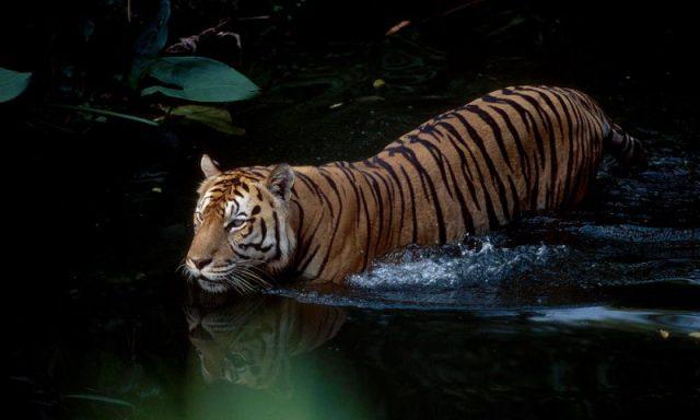 Gambar Ciri Ciri Harimau Sumatra