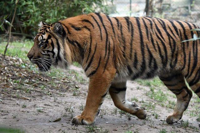 Gambar Ciri Ciri Harimau Sumatra Belang Dan Warnanya