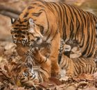 Gambar Ciri Ciri Harimau Sumatra Betina