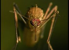 Gambar Ciri Ciri Nyamuk Lengkap Dengan Gambarnya