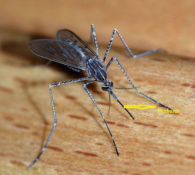 Gambar Ciri Ciri Nyamuk Pada bagian kepala nyamuk terdapat adanya Probosis