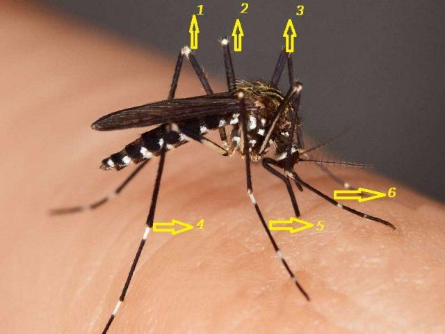 Gambar Ciri Ciri Nyamuk Punya Enam Kaki Panjang