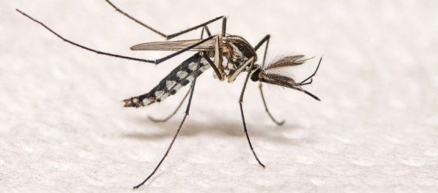 Gambar Ciri Ciri Nyamuk Tubuhnya langsing