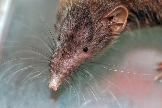 Gambar Kenapa Curut Bau Dan Cara Mengusir Tikus Curut Dengan Bahan Alami