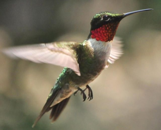 Gambar Kolibri Berleher Rubi