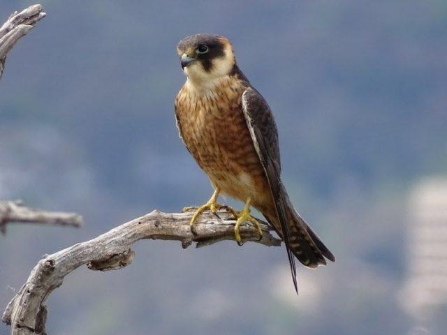Gambar Nama Nama Burung Dan Gambarnya Dari Huruf A - Alap-alap australia