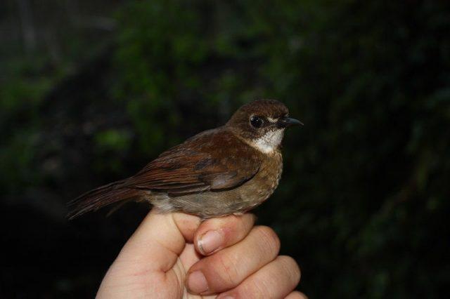 Gambar Nama Nama Burung Dan Gambarnya Dari Huruf A - Anis Papua-kecil