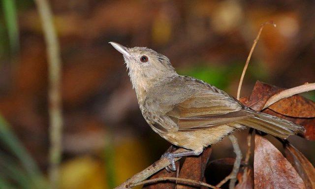Gambar Nama Nama Burung Dan Gambarnya Dari Huruf A - Anis-bentet kecil