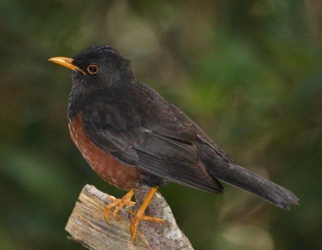 Gambar Nama Nama Burung Dan Gambarnya Dari Huruf A - Anis gunung