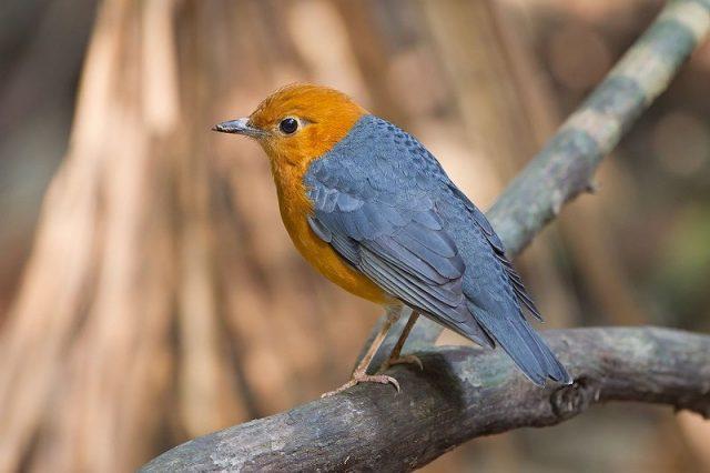 Gambar Nama Nama Burung Dan Gambarnya Dari Huruf A - Anis merah