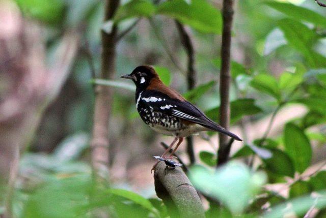 Gambar Nama Nama Burung Dan Gambarnya Dari Huruf A - Anis punggung-merah