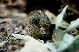 Gambar Nama Nama Burung Dan Gambarnya Dari Huruf A - Anis-puyuh ajax