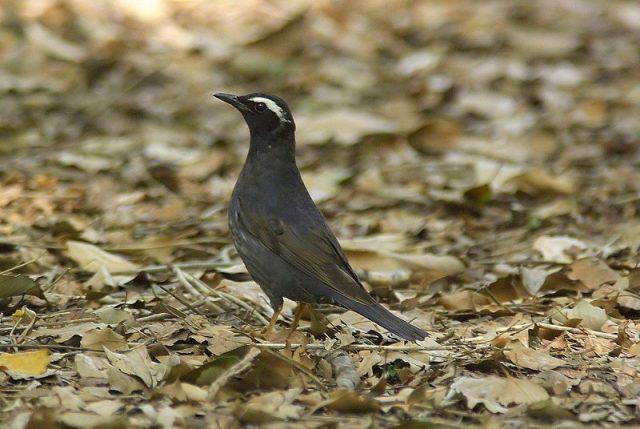 Gambar Nama Nama Burung Dan Gambarnya Dari Huruf A - Anis siberia