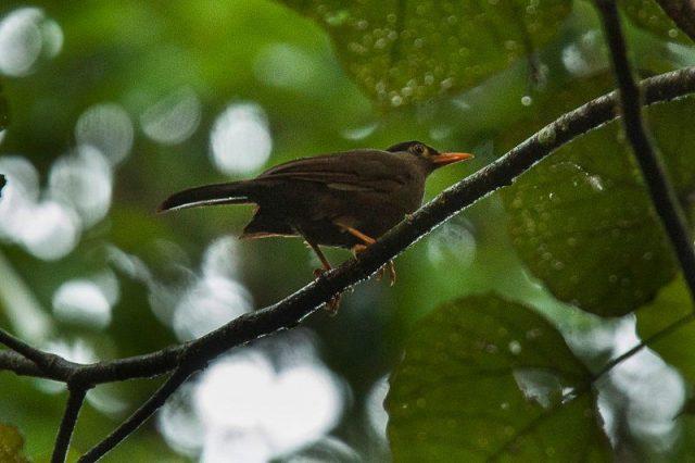 Gambar Nama Nama Burung Dan Gambarnya Dari Huruf A - Anis sulawesi