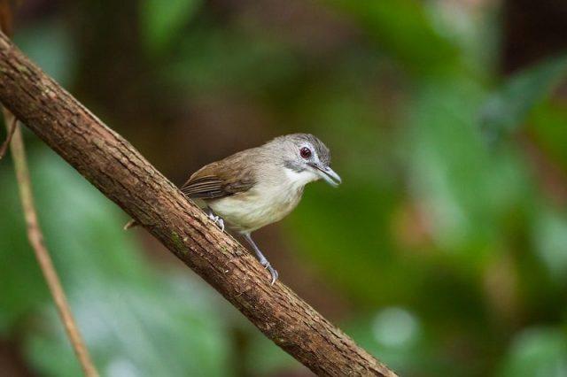 Gambar Nama Nama Burung Dan Gambarnya Dari Huruf A - Asi kumis