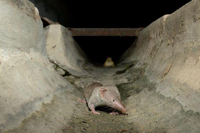 Gambar Umpan Tikus Curut Dan Cara Mengusir Tikus Curut Dari Kamar