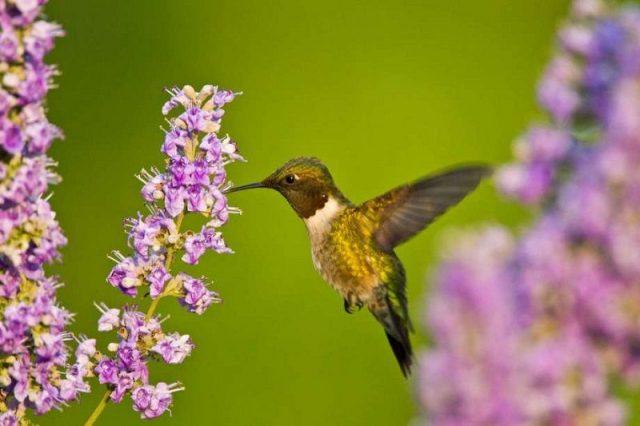 Gambar Umur Kolibri Berleher Rubi