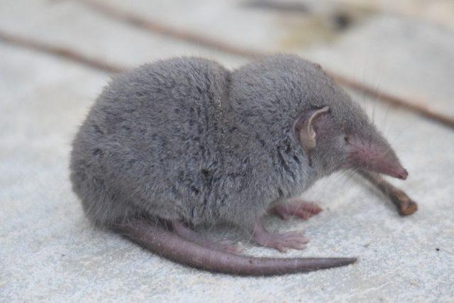 Gambar Curut-Perbedaan Curut Dan Tikus