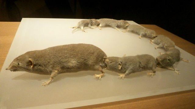 Gambar Tikus Curut Rumah