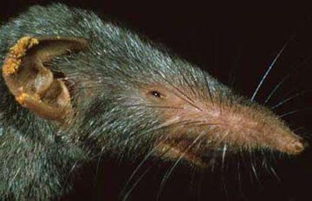 Gambar Tikus curut memiliki moncong panjang