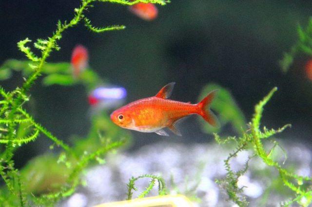 Gambar Ikan Hias Kecil Bergerombol Ember Tetra