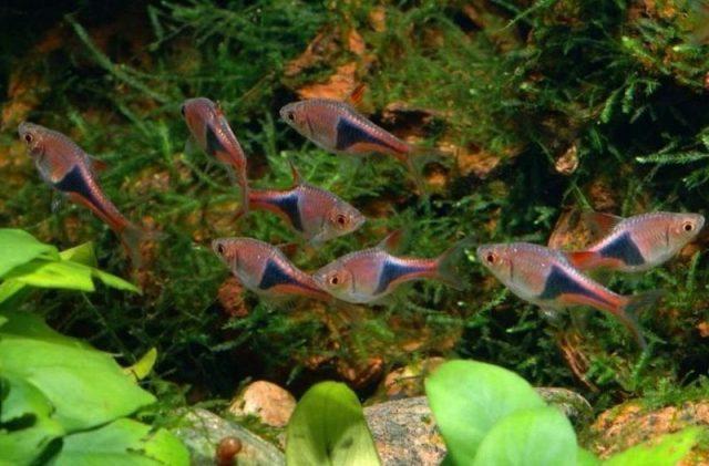 Gambar Ikan Hias Kecil Bergerombol Harlequin Rasbora