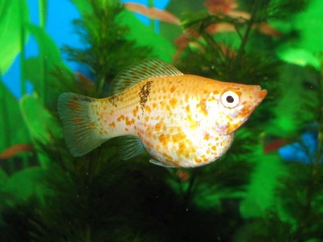 Gambar Ikan Hias Kecil Tanpa Oksigen Molly