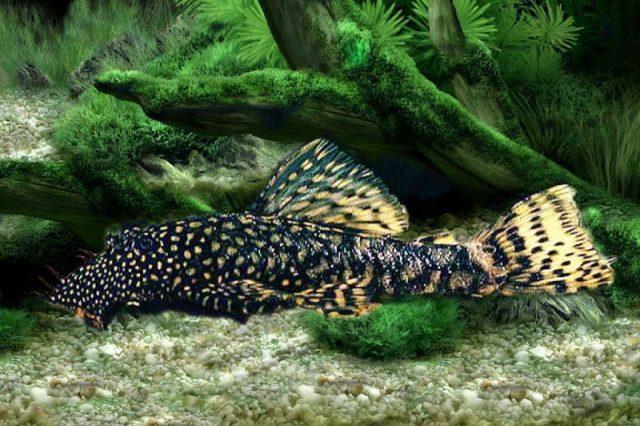 Gambar Ikan Hias Spesies Perwakilan Ikan Ancistrus cirrhosus