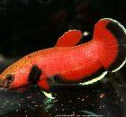 Gambar Ikan Hias Spesies Perwakilan Ikan Betta channoides