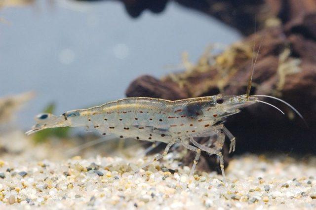Gambar Ikan Hias Spesies Perwakilan Udang amanao