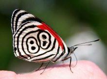 Jenis Kupu Kupu-88 Butterfly