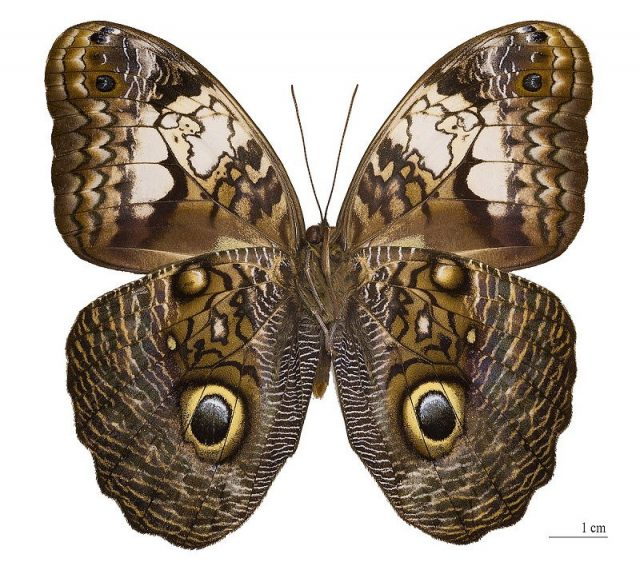 Jenis Kupu Kupu-Giant Owl Butterfly