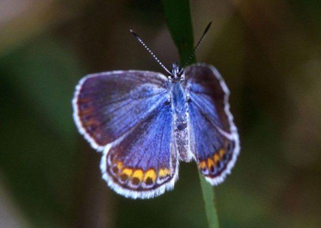 Jenis Kupu Kupu-Karner Blue Butterfly