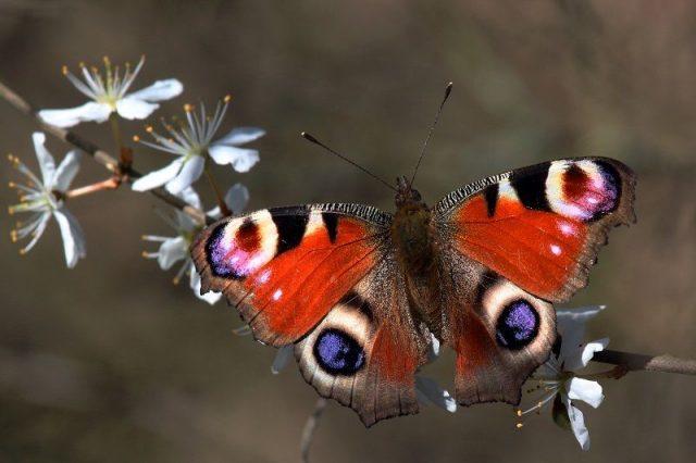 Jenis Kupu Kupu-Peacock Butterfly