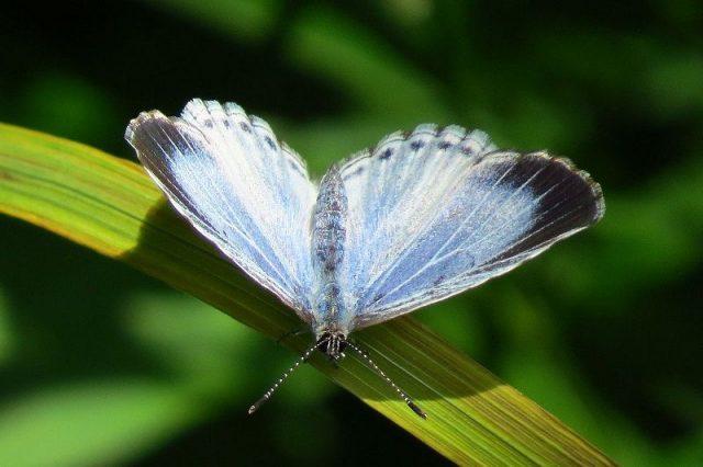 Jenis Kupu Kupu-Summer Azure Butterfly