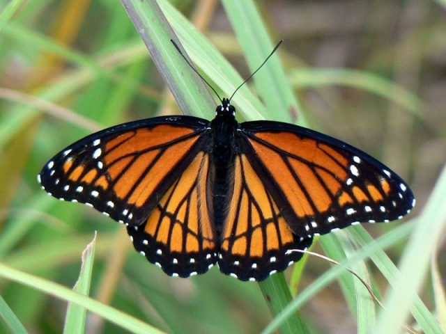Jenis Kupu Kupu-viceroy butterfly
