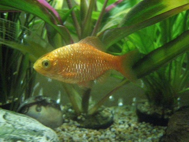 Gambar Nama Nama Ikan Hias Air Tawar Dan Gambarnya - Barbir