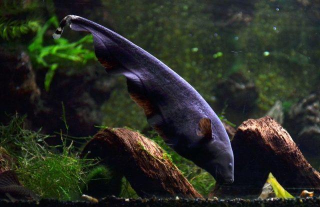 Nama Nama Ikan Hias Air Tawar Dan Gambarnya - Black Ghost ( apteronotus albifrons )