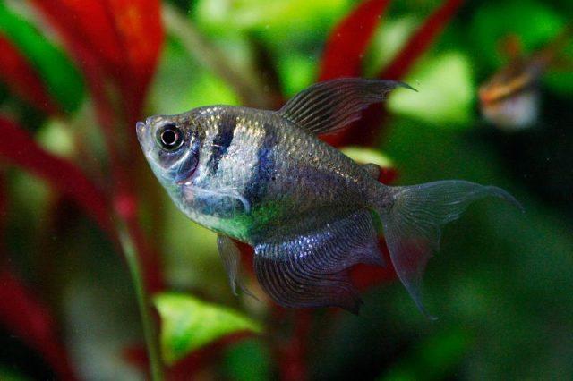 Gambar Nama Nama Ikan Hias Air Tawar Dan Gambarnya - Black tetra