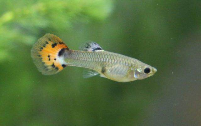 Gambar Nama Nama Ikan Hias Air Tawar Dan Gambarnya - Guppy
