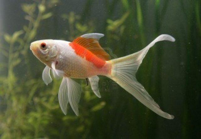 Gambar Nama Nama Ikan Hias Air Tawar Dan Gambarnya - Komet