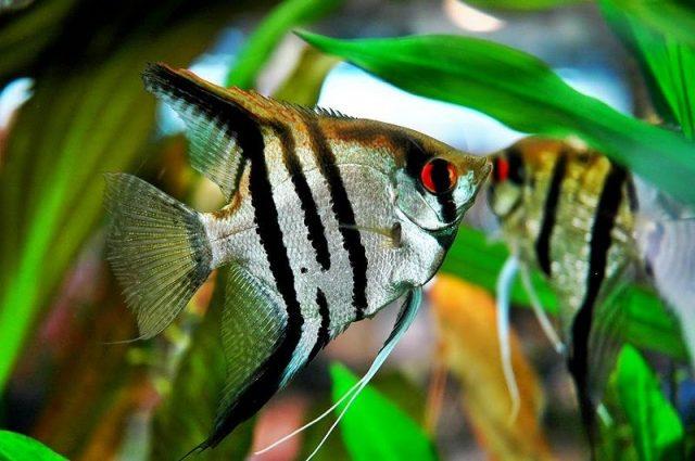 Gambar Nama Nama Ikan Hias Air Tawar Dan Gambarnya - Manfish