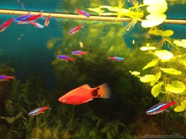 Gambar Nama Nama Ikan Hias Air Tawar Dan Gambarnya - Mickey Mouse