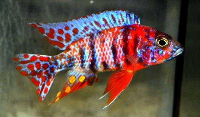 Gambar Nama Nama Ikan Hias Air Tawar Dan Gambarnya - Peacock Cichlid